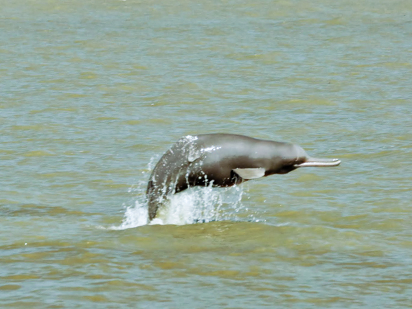 An endangered river dolphin in Sundarbans