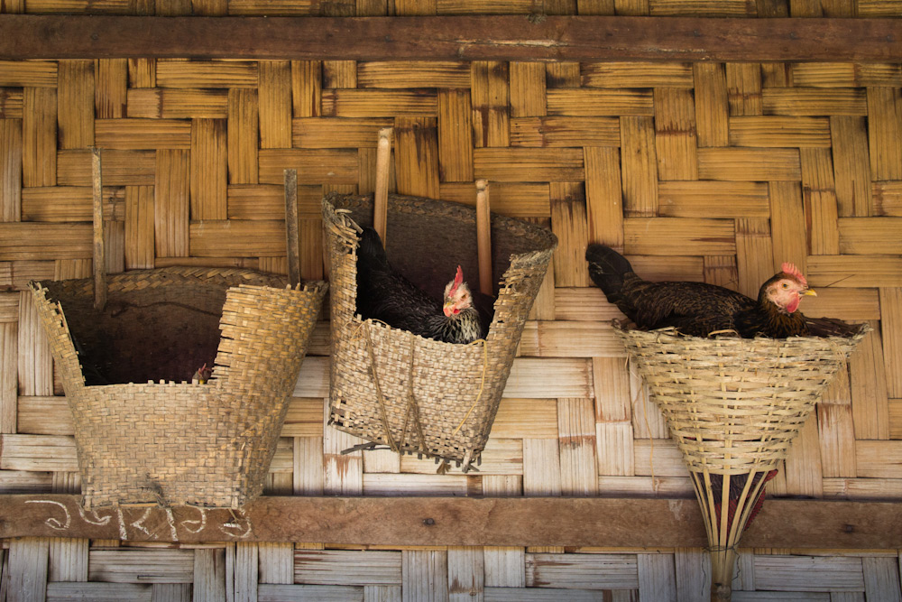 Chickens on a Bawm village at Bandarban